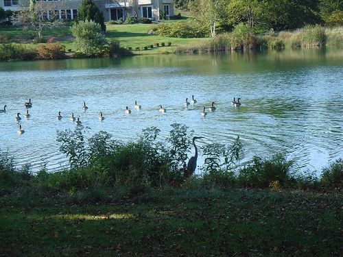 heron and geese on lake quincy